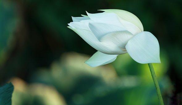 indian-lotus-3371897__340
